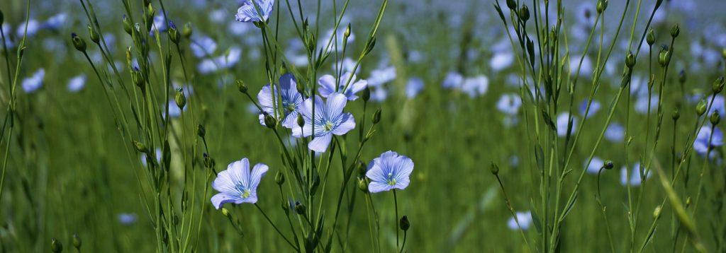 Blühende Flachs-Felder zum ökologischer Anbau von Hessen-Leinen