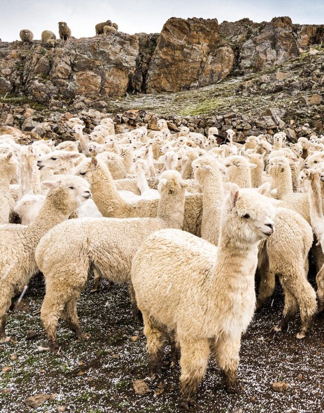 hessnatur-alpakafaser-wettbewerb-alpaka-herde