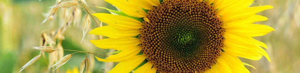 hessnatur Sonnenblume