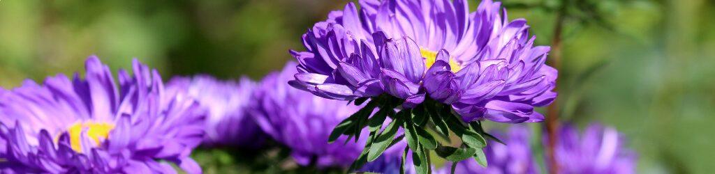 hessnatur astern herbst