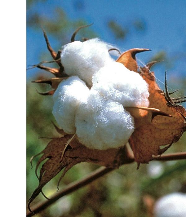 Baumwollblüte hessnatur