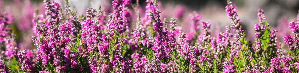 hessnatur heidekraut herbst