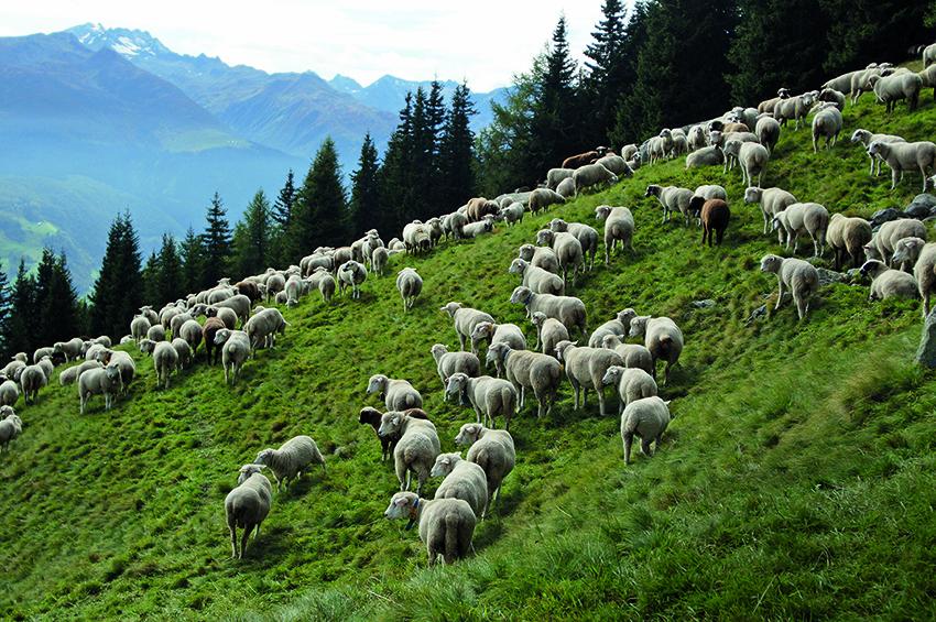hessnatur Schafe